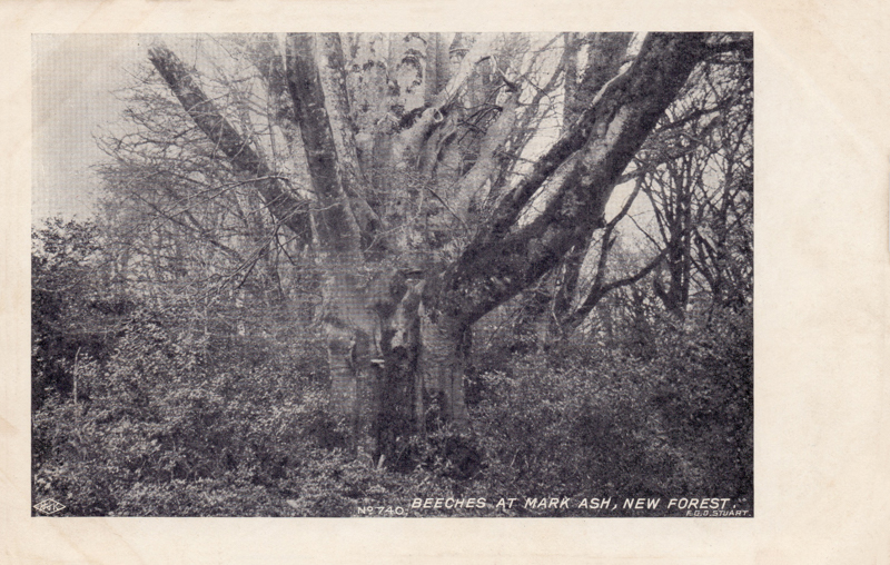 Beeches at Mark Ask, New Forest